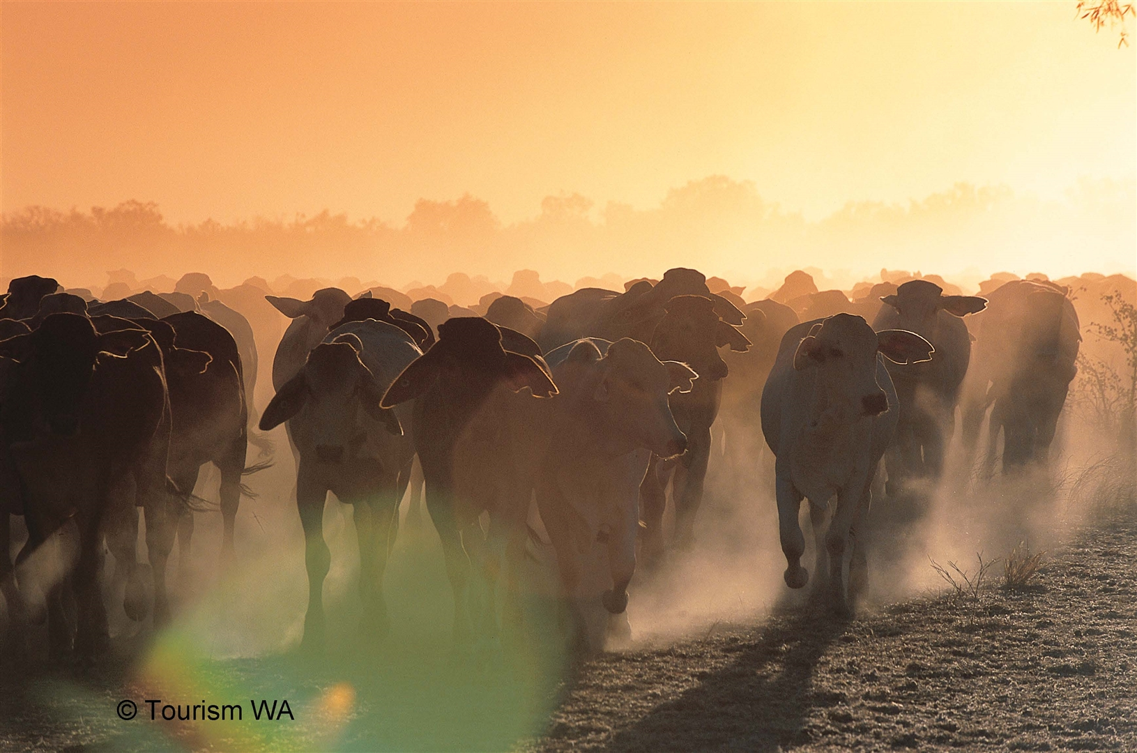 Tourism Western Australia Cattle Muster on a Kimberley Cattle Station Watermark